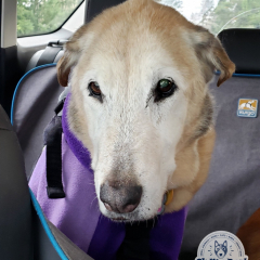 Shasta taking the Pet Taxi