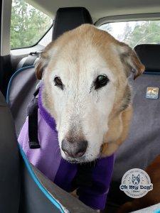 Senior dog in car