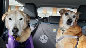 Two large dogs in car