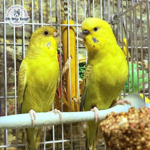 Two yellow parakeets on perch